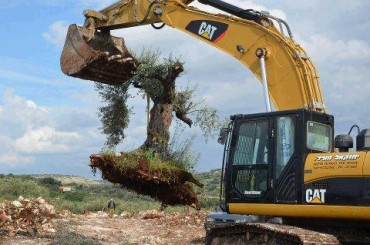 uprooting olive tree